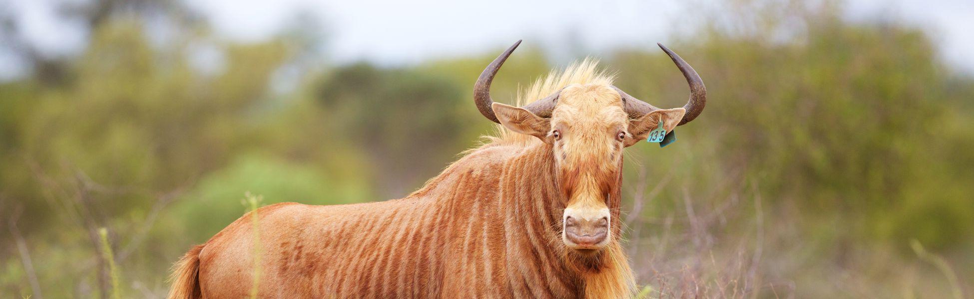 Golden Wildebeest Header