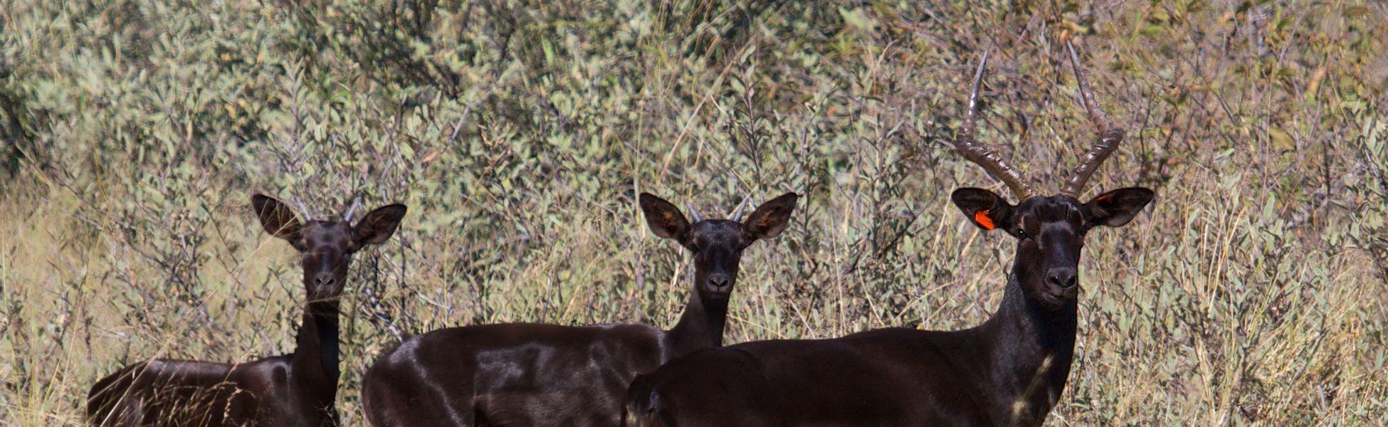Black Impala Header